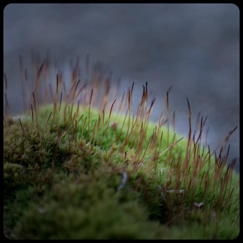 More Moss Sporophytes